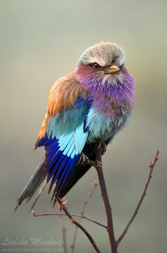 The Lilac-breasted roller (Coracias caudatus) is a member bird of the roller family of birds. Photo by Licinia Machado.