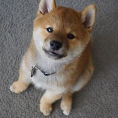Red Shiba Inu Puppies | 17 Best images about Pets on Pinterest | Shiba inu puppies, African ...