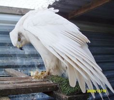 My dream bird. White Goshawk