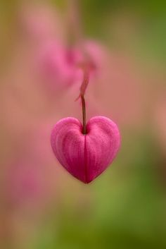 Bleeding Heart Flower by Jaroslaw Blaminsky