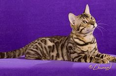 rosetted bengal