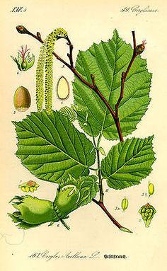 Hazelnut Tree 4 Fresh Barerooted Plant