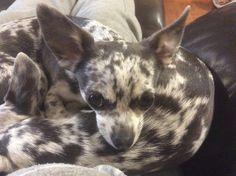 Blue Merle Chihuahua, Cute Chihuahua, Chihuahua Puppies, Chihuahuas, Amazing, Animals, Cha Cha, Animales, Animaux