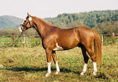 The Czech Warmblood is a robust, powerful horse bred with strong bones. The breed has a strong neck on an elegant body, a broad, long back, and good hooves, though they are sometimes flat. The mane and tail are very thick.