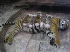A mother tiger lost her cubs due to premature labour. Shortly after, she became depressed and her health declined. She was later diagnosed with depression. Since tigers are endangered, every effort was made to secure her health. Zoologists wrapped piglets up in tiger-print cloth, and presented them to the mother tiger. She now loves these piglets and treats them like her own. And needless to mention, her health is back on track. ♥  Yes, they ALL have feelings....just like we do. And yes…