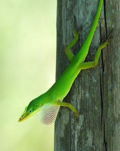 Green Anole Lizard | Green Anole Lizard