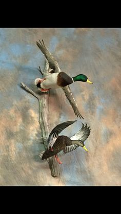 Nice taxidermy wall mount of a mallard and a black duck. I especially like the flapping position of the black duck.