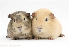 <p>Facts+Guinea+pigs+make+loud+squeaks+when+they're+happy,+they+sometimes+run+and+jump+too!+Guinea+pigs+are+rodents,+that+means+they're+related+to+squirrels,chipmunks+and+other+small+animals.+Guinea+pigs+used+to+be+eaten+for+food,and+still+are+in+South+Am
