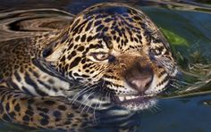 leopards-surface-tension