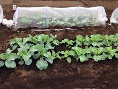 農業体験第五回。講義と青梗菜の種まき。大根は芽が出て、キャベツも成長。畝は6列。はじめてから4週間だけど、成長していくのが楽しい。  ここでは、畝、マルチは手作業だけど、農家は機械化しているとのこと。農地も集約化できたら機械化の体験も面白そう。  成長するときは、いろんなこと考えますね。集約化のんとかも、農や林の側から考えたら