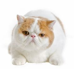 If I ever get a cat it'll look something like this exotic shorthair.  I love the smush face