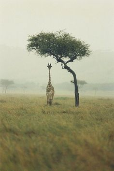A lone giraffe standing underneath a small tree.