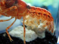 Mexican Orange Dwarf Crayfish babies!