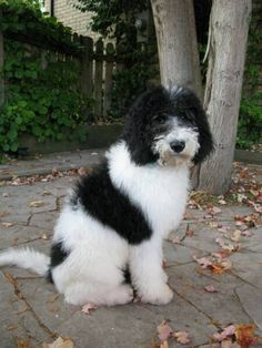 Black and White Parti Goldendoodles | bottom left 7mths at 7mths he is 45lbs and 22 at the shoulders and the ...
