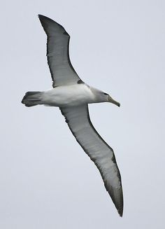 Salvin's Albatross (Thalassarche salvini), off of Valparaiso, Chile | Flickr - Photo Sharing!