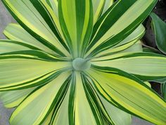 Agave attenuata 'variegata'
