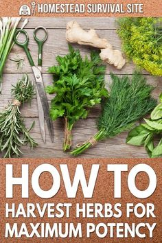 Harvesting herbs shouldn't be done whenever you feel like it. There are right and wrong times to harvest herbs for maximum potency. Healing Herbs, Medicinal Herbs, Biennial Plants, Garden Posts, Garden Ideas, Herb Farm, Short Plants, Homestead Survival, Survival Life