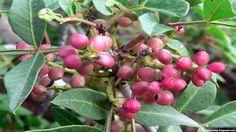 False mastic fruit