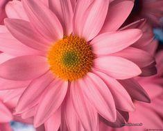 Margarida rosa.