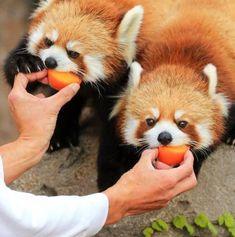 Please follow #iloveredpandas Hungry little cuties #redpanda #panda #cutebear #bear #animal #firefox #panda #pandabear Grizzly Bear Animal, Grizzly Bears, Baby Pandas, Red Pandas, Panda Panda, Panda Bears, Celebrity Travel, Cute Bears, Wedding Art