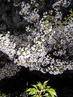 #Japan #sakura #Tokyo