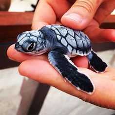 Blue turtle.