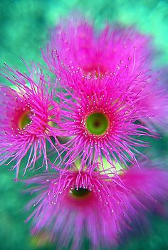 Who knew eucalyptus had such pretty flowers? Unusual Flowers, All Flowers, Amazing Flowers, My Flower, Colorful Flowers, Beautiful Flowers, Orchid Flowers, Beautiful Gorgeous, Zinnias