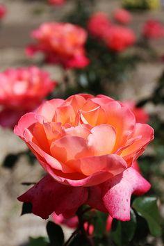 Pink Rose #provestra