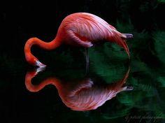 Flamingo | Flickr - Photo Sharing!