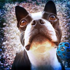 My Boston Terrier Lola. So sweet.