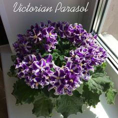 Victorian Parasol 10/08/1993 (S. Sorano) Semidouble chimera dark purple frilled star/white stripe, light purple overlay. Medium green, plain, ruffled. Standard #VictorianParasol #SidneySoranoViolets #LyndonLyonGreenhouses #ChimeraViolet #AVSA #AfricanViolet #IndoorPlant #Houseplant #saintpaulia #senpolia #AfricanVioletLovers #fialka #AfricanVioletSocietyOfAmerica #AfricanVioletBlooming #AfricanVioletMania #flowers #bloom #fialki #flowerstagram #FlowersOfInstagram #AfricanVioletsOfInstagram Leafy Plants, Flowering Plants, Indoor Plants, Planting Flowers, Dark Purple, Light Purple, Easy House Plants, Saintpaulia, African Violet