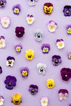 Pansy background by Ruth Black