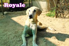Old Royale always shares his wisdom with Krore singh.