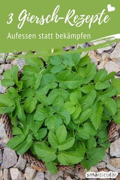 """This weed tastes fabulous: 3 recipes with greed - Dieses Unkraut schmeckt fabelhaft: 3 Rezepte mit Giersch 3 Giersch recipes – a """"weed"""" to eat – healthy and delicious - Herbs For Health, Healthy Herbs, Herb Recipes, Living A Healthy Life, Growing Herbs, Medicinal Herbs, Edible Garden, Land Scape, Vegetable Garden"""