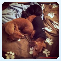 Today's bonus pic. Sleeping doxies is the theme to see more visit http://wp.me/p27Fw1-8p #dachshund #doxie