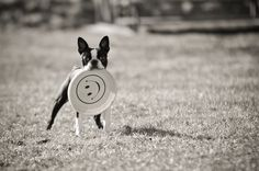 I got it!!! | Dallas; my 7 month old Boston Terrier, after t… | Flickr