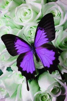 The beauty of the planet - beautiful butterfly pictures - Archzine.fr - The beauty of the planet – beautiful butterfly pictures – Archzine. Purple Butterfly Tattoo, Butterfly Painting, Butterfly Kisses, Butterfly Wallpaper, Butterfly Flowers, Morpho Butterfly, Butterfly House, Butterfly Dragon, Bird Wallpaper