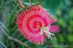 Callistemon pink flower in the garden.