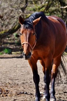 Once you discover all the benefits of apple cider vinegar (ACV) for horses, it's is really a no-brainer. Not only is it natural and affordable, but it's also a safe and fool-proof way to get into…