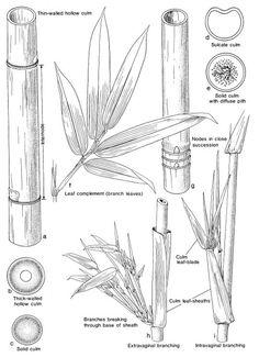 Identifying Bamboo Culms