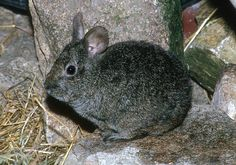 Volcano rabbit also known as teporingo or zacatuche (Romerolagus diazi) is a small rabbit that resides in the mountains of Mexico. It is the world's second smallest rabbit. The volcano rabbit lives in groups of 2 to 5 animals in burrows (underground nests) and runways among grass tussocks.