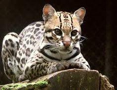 jaguar animal - Google Search