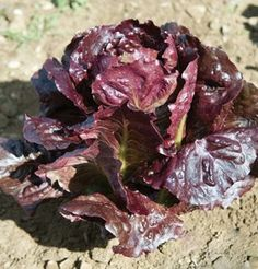 Red Cash Lettuce is heat tolerant red butterhead. The large, fancy, bright red heads make a stunning presentation.