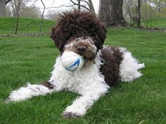 My favorite dog: Lagotto romagnolo!