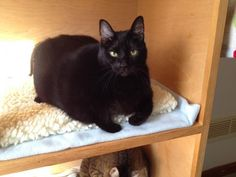 Dakota/Domestic Short Hair • Adult • Female • Medium North Country Animal League Morrisville, VT She is about 7 years old and came in with her sister Kali. Both girls were surrendered due to a change in a living situation..