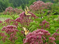 This is a great picture of joe-pye-weed. With all the rain we have had in Ohio (USA) this year (2013) my Joe-pye is gigantic!