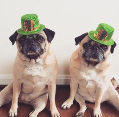 St. Patrick's Day Pugs 2015 - Follow us on Instagram: @zoereagan