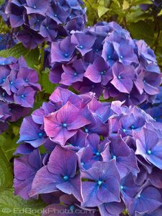 Purple Hydrangea. Hydrangea (Hydrangea macrophylla) is a flowering shrub that grows 4 to 6 feet in height. The plant grows best in full to partial sunlight. Hydrangea flowers bloom in late spring through midsummer. #flowers #hydrangea