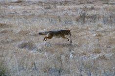 coyote running | Coyote Running