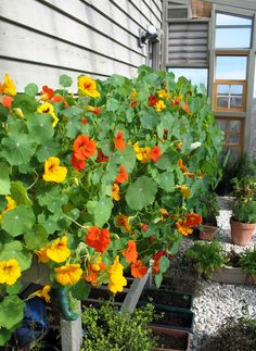 """The greenhouse """"sea of nasturtiums""""...I give away bouquets almost every day!  Wish somebody would make a salad with them besides ME!!"""